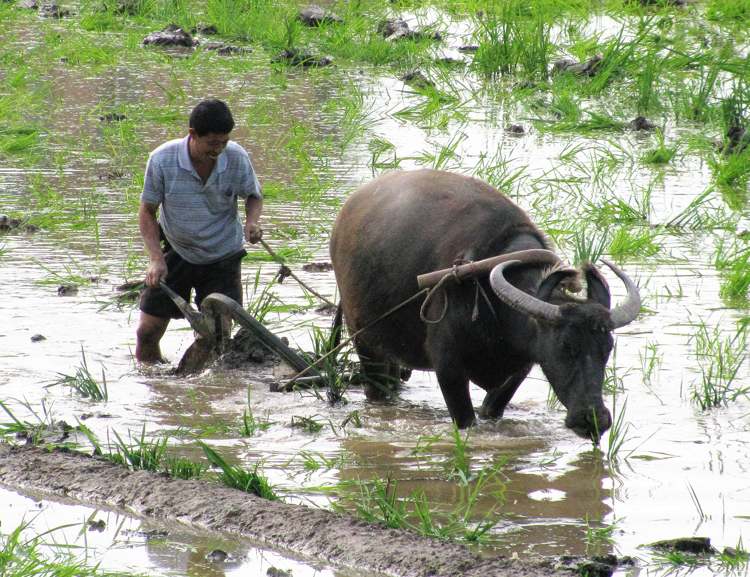 plowing_paddy_field_with_a_water_buffalo