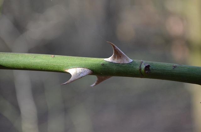 Three Thorns on Rose Stem