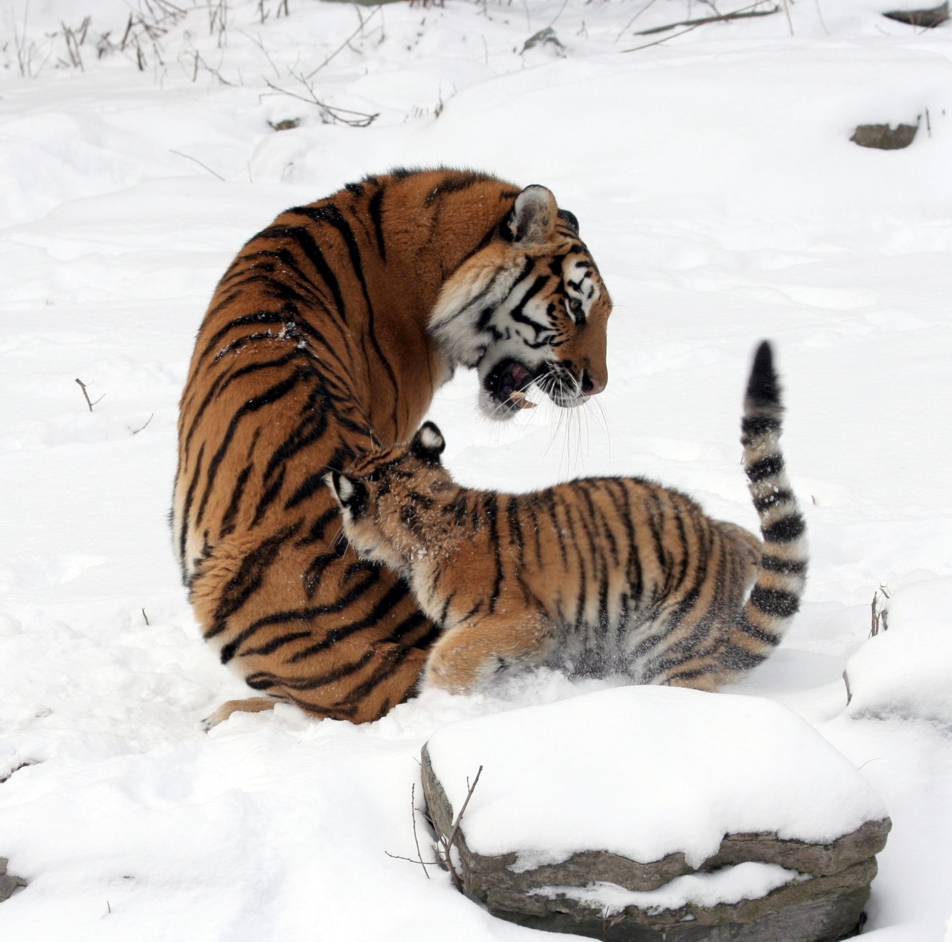 tigers-playing-in-the-snow