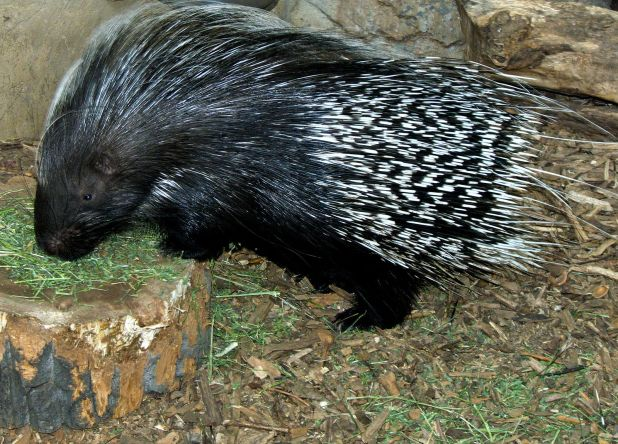 1600px-crested_porcupine