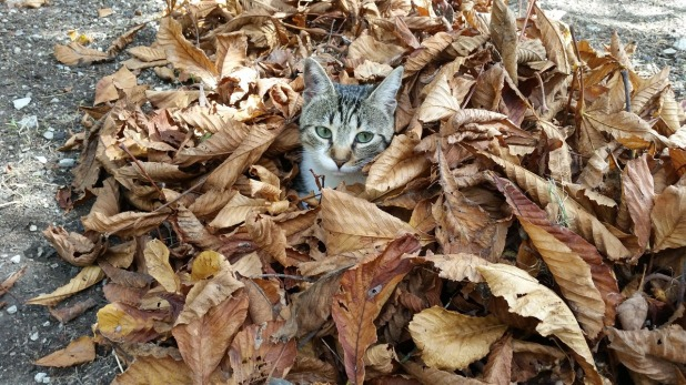 Cat Hiding Leaves Dry Leaves Cold Fall